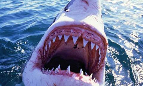 Большая белая акула напала на серфера: реальное видео