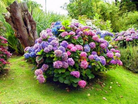 «Цветок — фиолетовое солнце» покорит ваше сердце