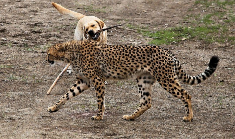 Гепард: между кошкой и собакой