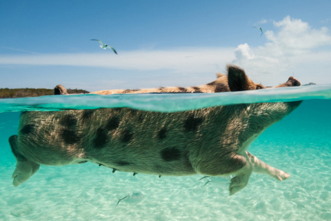 Остров плавающих хрюшек