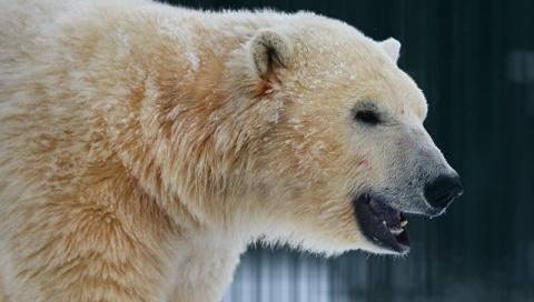 Белые медведи пришли в заброшенный поселок на Чукотке и катались с горок