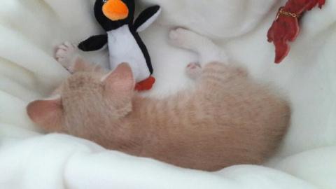 Приютили котёнка из соседней фермы, назвали Персик. Скоро ему годик, а весит...