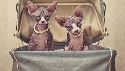 Чудесные кошки-сфинксы на фо…