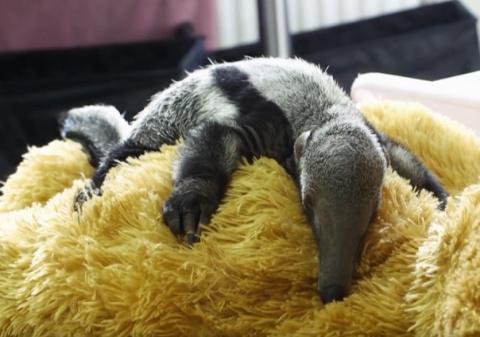 Плюшевый медведь стал новой мамой для маленькой самки муравьеда