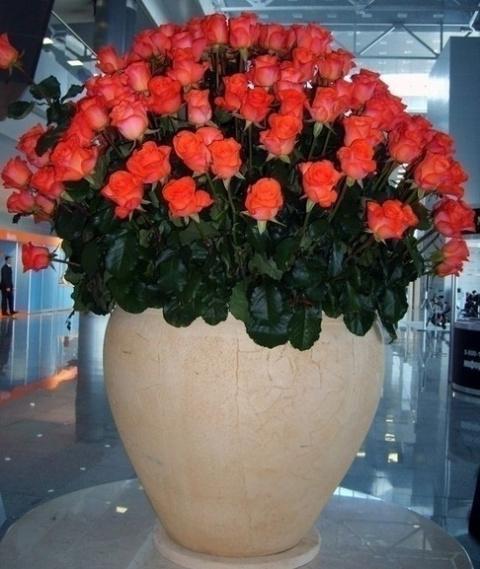 мнорго роз в большой вазе