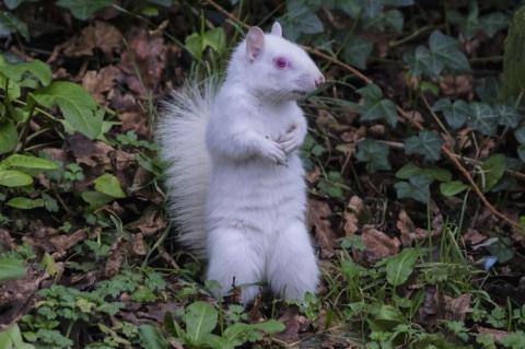 В Англии в городском парке засняли редкую белку-альбиноса