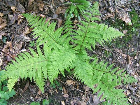 Будет ли лесной папоротник расти дома в горшке?