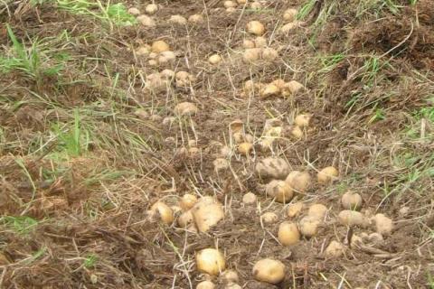 Картофель под сеном - личный опыт