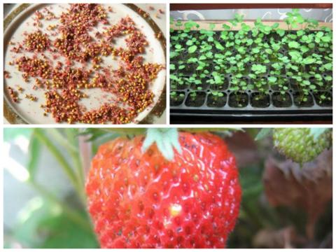 Выращивание клубники и земляники из семян. Опыт садоводов
