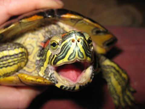 Никогда не покупайте черепах на улице