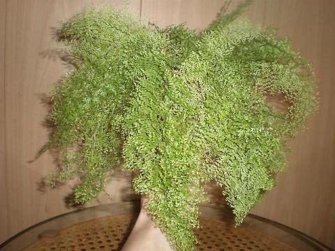 6 лучших ажурных комнатных растений