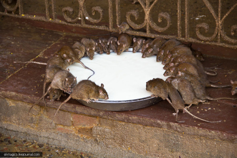Храм 20 000 живых крыс - Карни Мата в Дешноке. Индийские школы. Дорога до Мандавы