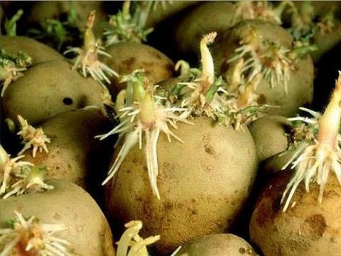 Ростки картофеля обрезаю!