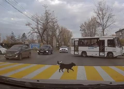 Собака показала, как перейти дорогу и не подвергать опасности ни себя, ни водителей.