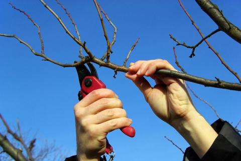 Сейчас для садоводов обрезка деревьев — наипервейшая задача!