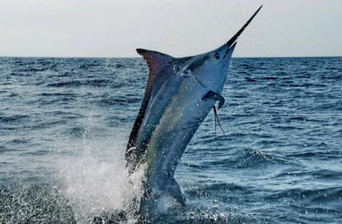 Рыба в Австралии утащила рыб…