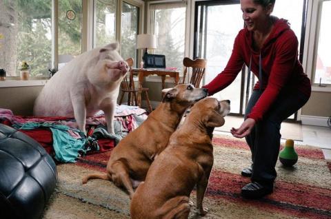 Очень счастливая свинья живет в доме у канадцев