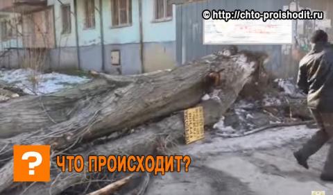 В Дагестане громадное дерево…