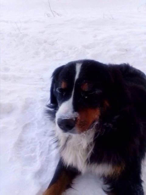В Омске пес по кличке Ватсон…