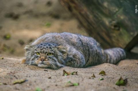 Суровые сибирские коты