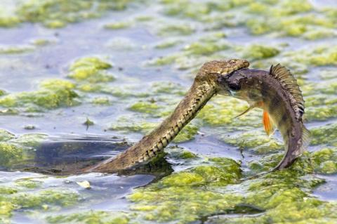 Как змея поймала окуня