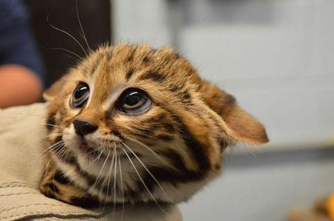 12 диких кошек, о существовании которых знают далеко не все