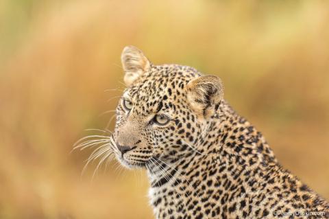 Два года с леопардом