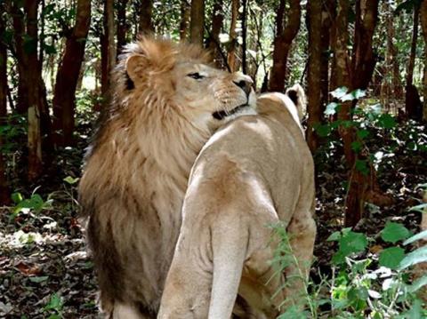 Спасенный из циркового рабства лев влюбился в львицу
