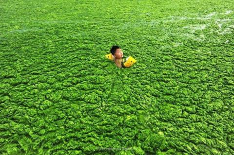 Водоросли оккупируют берега Китая