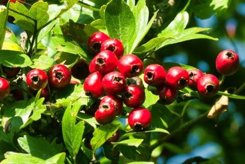 Боярышник: от семени к ягодке