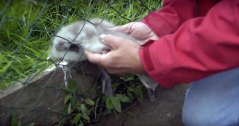 Необыкновенное спасение птенца лебедя из сетки