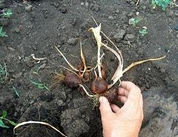 Когда выкапывать луковицы тю…