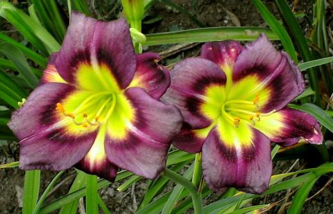 Гибридные лилейники − чудо селекции