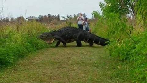Огромный аллигатор прошел рядом с туристами