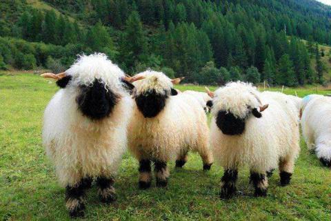 Черноносые овцы такие милые, что трудно поверить в их реальность!