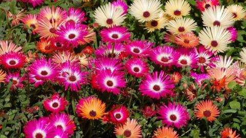 Приусадебное цветоводство