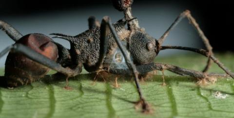 Зомбирование в природе: Гриб, управляющий насекомыми