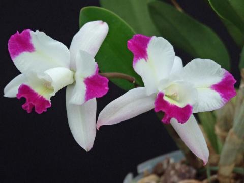 Обзор орхидей для начинающих…