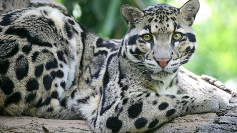КОШКИН ДОМ. Дымчатый леопард