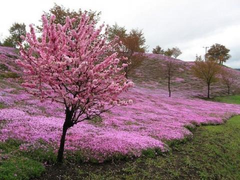 Весной в Японии творится волшебство