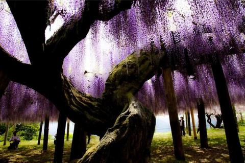 Кавати Фудзи. Сад сказочных цветов