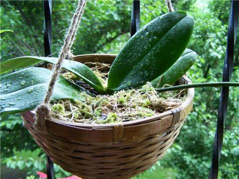 Пересадите орхидею в корзинк…