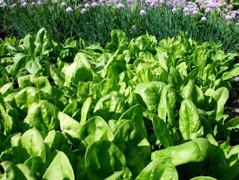Шпинат — полезная зелень!