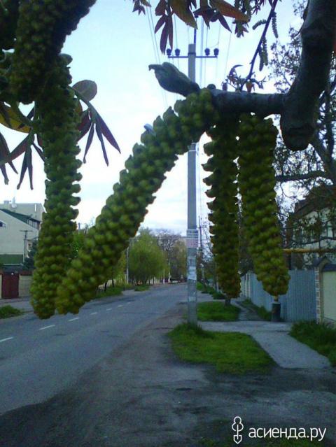 """Как цветет грецкий орех или"""" гусенички"""" грецкого ореха"""