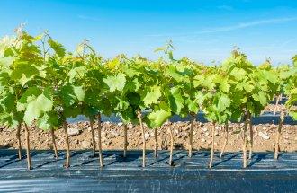 Как купить хорошие саженцы винограда – инструкция для новичков