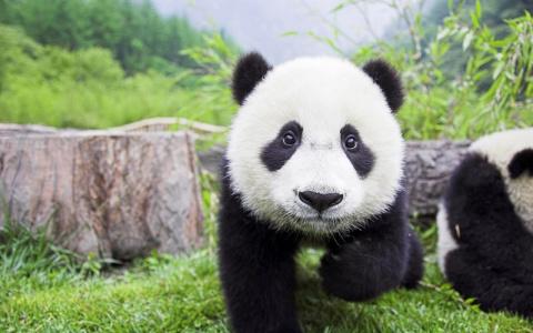 Ученые выяснили, чем обусловлен необычный окрас панд