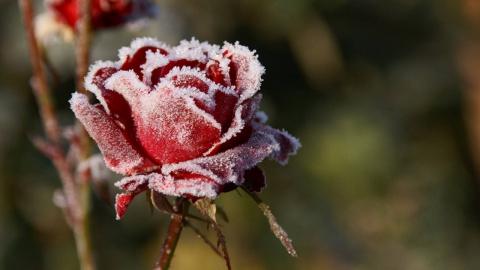 3 ошибки при подготовке роз к зиме