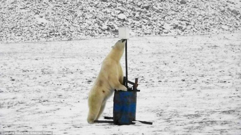 Любопытный белый медведь наб…