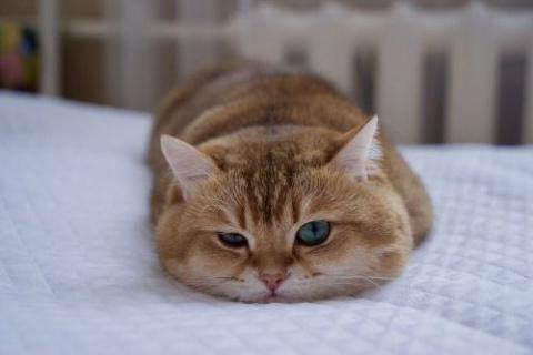Котик Хосико, которого называют Котом в сапогах в реальной жизни