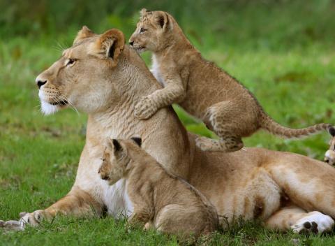 Царственное семейство львов.